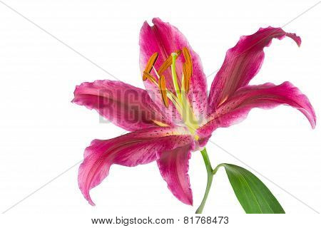 Stargazer Pink Isolated On White