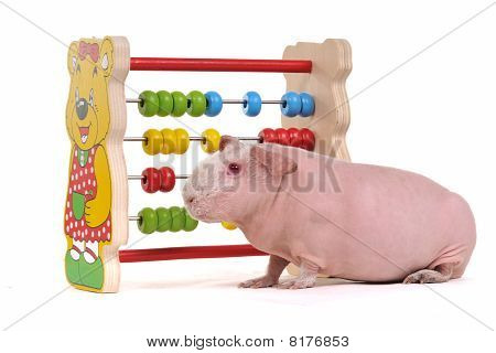 Cavy With Abacus