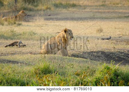 Young Male Lion Resting