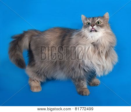 Tricolor Fluffy Cat Standing On Blue