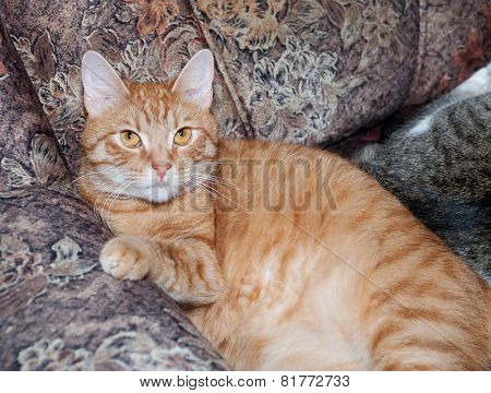 Red Cat Lays On Couch