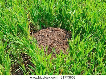 A Mole's Work In Fields.