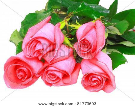 Beautiful Pink Roses .  Isolated.