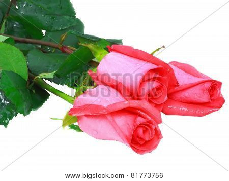 Beautiful Three Pink Roses .  Isolated.