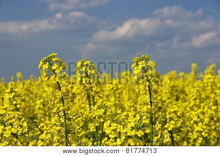 Blooming Canola On The Field Close Up.
