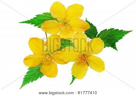 Three Marsh Marigold  Yellow Wildflowers Isolated    .