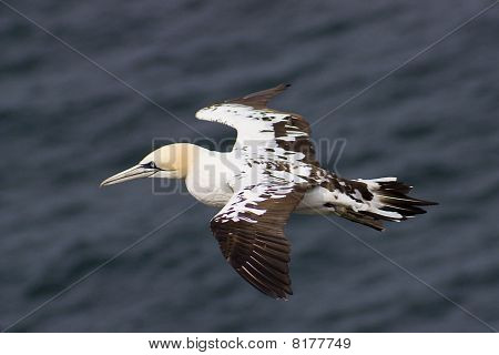 Immature gannet in flight (Morus bassanus)