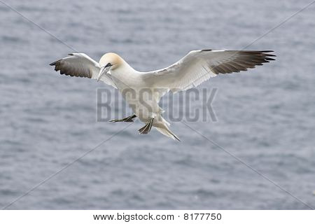 Gannet in Flight (Morus bassanus)