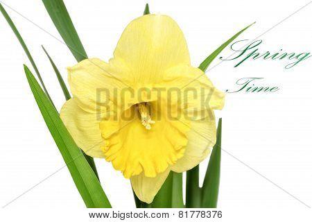 Beautiful Spring Single Flower: Orange  Narcissus (daffodil)