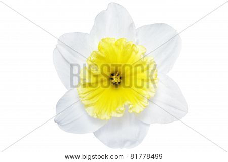 Beautiful Spring Single Flower: White  Narcissus (daffodil)
