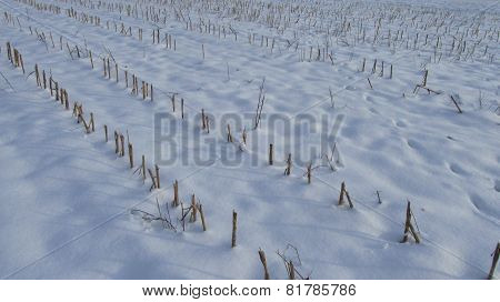 stubble in winter