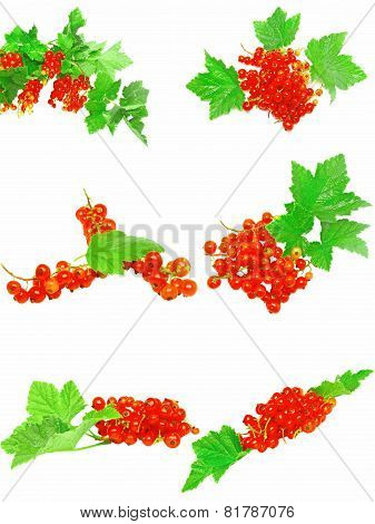 Collection Of Red Currant With Foliage. Isolated.