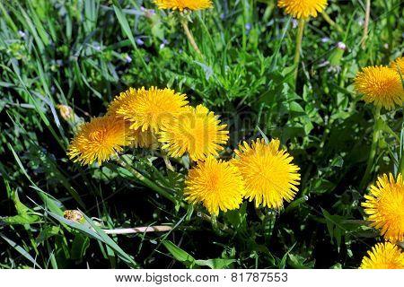 Beautiful Spring Flowers-dandelions In A Wild Field.