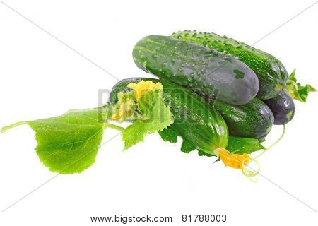 Fresh  Cucumbers With Yellow Blossom Cluster.