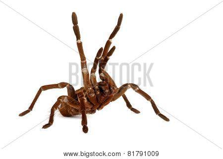 Goliath Bird Eater Tarantula