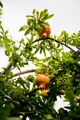 picture of pomegranate  - Pomegranates grow on a pomegranate tree - JPG