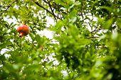 foto of pomegranate  - Pomegranates grow on a pomegranate tree - JPG