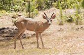 pic of black tail deer  - Male  - JPG