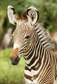Calf Zebra Profile