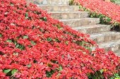 picture of poinsettias  - Bright red Poinsettia alongside stone stairs path way - JPG