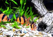 picture of shoal fish  - Shoal of aquarium fish - JPG
