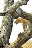 stock photo of leo  - A lioness Panthera Leo on a tree in Serengeti National Park Tanzania - JPG