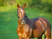 stock photo of thoroughbred  - Thoroughbred brown horse outdoors on a sunny summer day - JPG