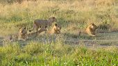 foto of leo  - A pride of young male lions Panthera Leo resting at the shadow of a tree in Serengeti National Park Tanzania - JPG