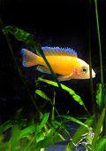 stock photo of dwarf  - Aquarium Fish dwarf Cichlid - JPG