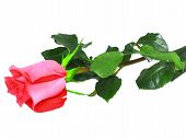 pic of single white rose  - Beautiful single pink roses isolated on white background - JPG