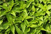 stock photo of nettle  - Wild nettles growing in the spring as background - JPG