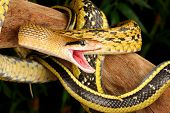 pic of tree snake  - Taiwan Beauty Snake hanging from a tree - JPG