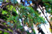 stock photo of cone  - Pine branch with cones - JPG