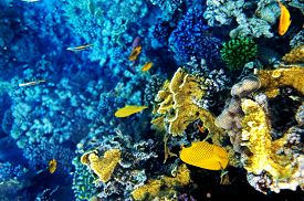 pic of butterfly fish  - Coral and fish in the Red Sea - JPG