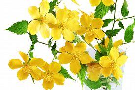 pic of cruciferous  - Marsh Marigold Yellow wildflowers in vase on white background - JPG