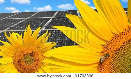 Sunflowers with solar energy panels.