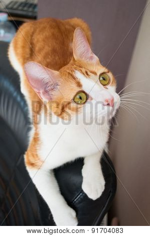 Red cat lying on black leather chair