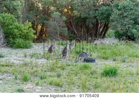 Five Kangaroo's In The Wild