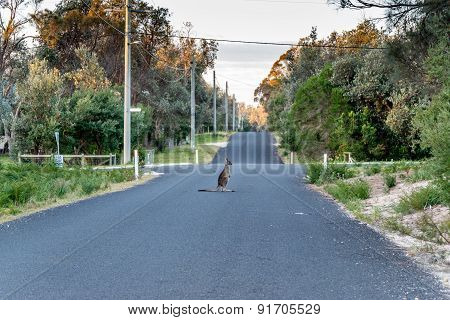 Kangaroo Sat In The Road