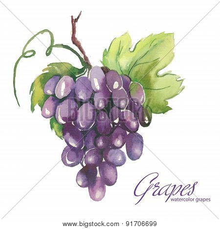 Watercolor Illustrations Of Grapes