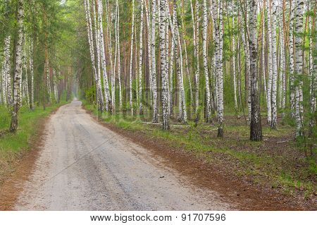 Country road in birch grove