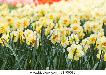 Bright Colorful Flowers Narcissists For Background, Posters, Cards