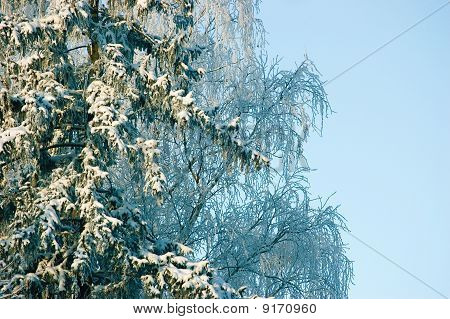 New Snow On Fir Tree Branches In Early Winter Morning