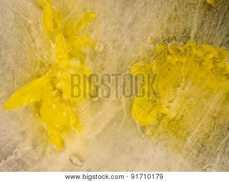 Yellow Chrysanthemums In The Ice