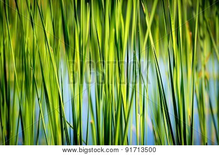 green reed abstract natural background