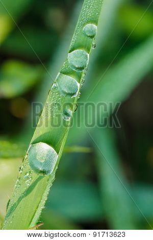 Dew Drops On Green  Grass Leaves