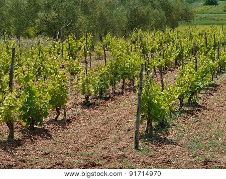 Croatian vines with grape plants in perspective