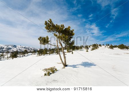 Winter Landscape With Fur-trees And Fresh Snow.