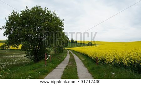 Way through flowering rape-seed fields