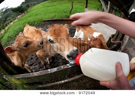 Feeding Hungry Calves On Costa Rican Farm